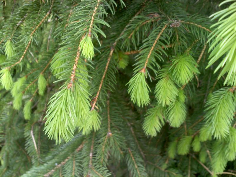 spruce-newgrowth