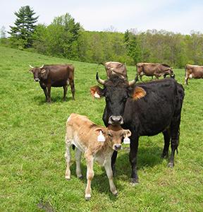 HV Cows